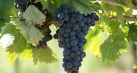 Uva - Grapes - Trauben
