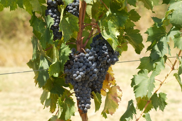 Uva - Wine grapes - Weintrauben